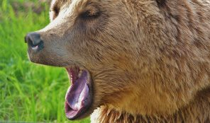 animal-bear-close-up-158403