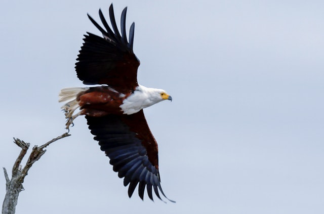 bald-eagle-about-to-fly-1887832