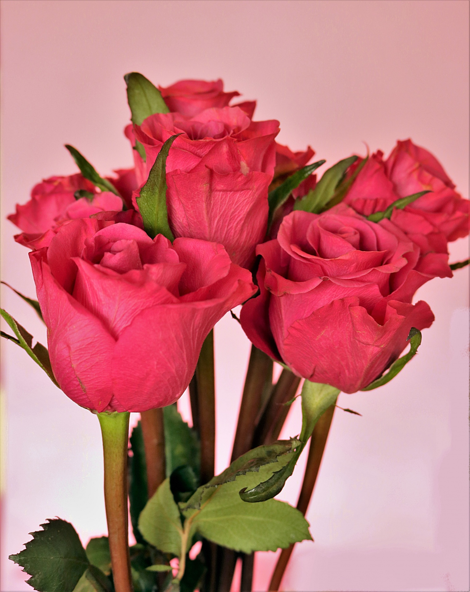 pink-rose-buds-on-pink-background